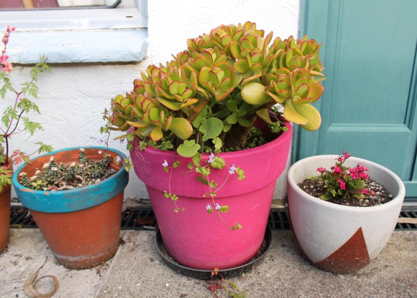Jade plant in a neon pot and succulents in pots