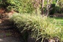 overgrown spider plants