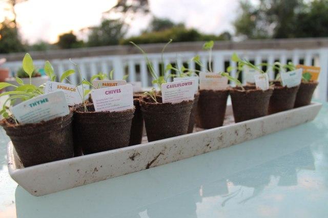 vegetable-seedlings-little-garden