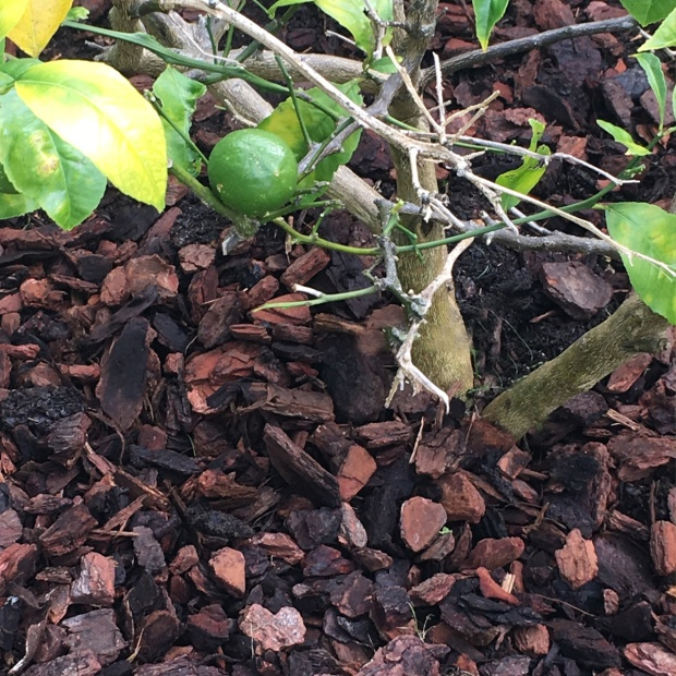 Lemon-tree-mulched-2
