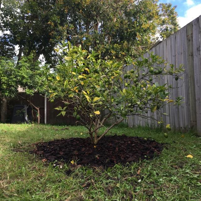 Lemon-tree-mulched