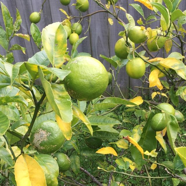 Lemon-tree-yellow-leaves