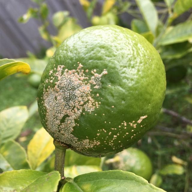 Lemon-Verrucosis-nz