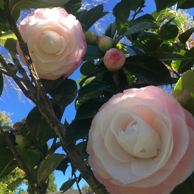 Pink-Camellia-Antipodean-garden