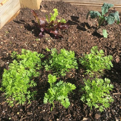 Vegetables-carrots-lettuce-Antipodean-garden