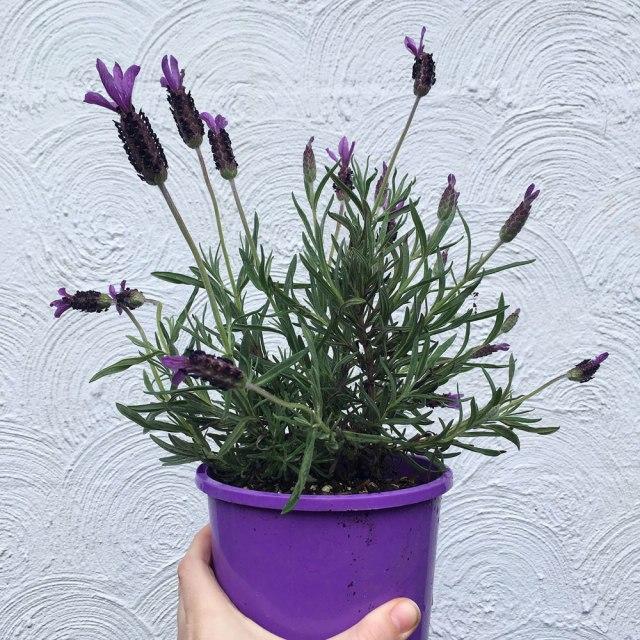 Antipodean-Garden-Lavender-White-Wall