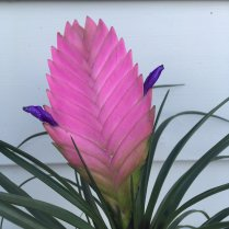 Antipodean-garden-pink-bromeliad